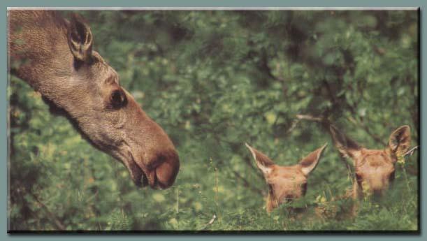 Elch - Alces alces: Aussehen und Anatomie: Kopf